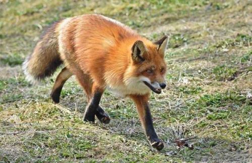养狐狸很邪吗?信则有不信无